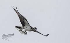 Foggy Osprey 5_2 (krisinct- Thanks for 12 Million views!) Tags: canon mark ii 7d 500 f4