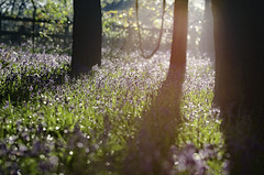 Bluebell Dawn (SimonTHGolfer) Tags: flowers trees light england nature bluebells woodland landscape suffolk spring nikon warmth lightleaks wildflowers eastanglia naturephotography landscapephotography d5100 simontalbothurnphotography