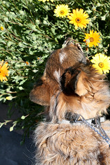 clover smelling the cape marigold (wmpe2000) Tags: flowers orange dogs yellow canal clover pe africandaisy marigold asteraceae perennial dogwalking papagopark petsitting 2016 sunflowerfamily capemarigold dimorphothecasinuata orderasterales