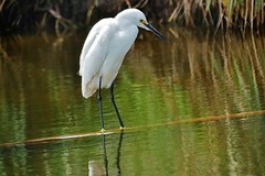 Snowy Egret (Susan Roehl Thanks for 5.1 M Views) Tags: usa backyard ngc panasonic npc naples fl balancingact 100300mmlens wildegret lumixdmcgh4 sueroehl