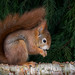 05 red squirrel_amanda culley