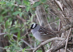 White-crowned Sparrow at Hyper Humus (Tombo Pixels) Tags: bird newjersey nj sparrow whitecrownedsparrow whitecrowned hyperhumus twb1 naturewalk2016 hyperhumus160055