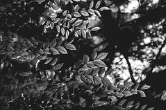 Feuillu (Nora Bo) Tags: bw italy leaves forest backlit