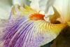 Fantasy Ride (Shutter_Hand) Tags: iris usa naturaleza flower macro fleur flora texas sony flor jardin botanico blomma fleurdelis alpha 花 blume fiore secretgarden çiçek flordelis weatherford 꽃 kukka цветок mineralwells botanicalpark jardinbotánico jardinsecreto parquebotánico a99 फूल clarkgardens lenscraft fantasyride texasgem texasjewel rogerduncan sonyaf100mmf28macro miguelmendozamuñoz sonyalphaa99 slta99