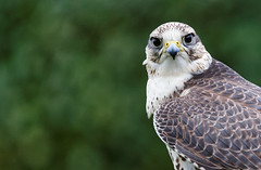 Peregrine Stare (Fong Lim) Tags: travel 3 castle nature canon photography scotland photos wildlife iii ii falcon 5d dslr ef mk teleconverter lim peregrine extender fong dunrobin 14x 100400