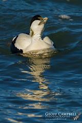 Common Eider (Somateria mollissima) (gcampbellphoto) Tags: bird duck northernireland avian ballycastle commoneider somateriamollissima seaduck gcampbellphotonorthantrim
