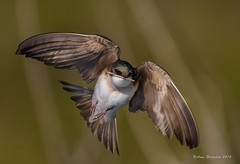 Building a home (Happy Photographer) Tags: bird barn amy nest flight swallow amyhudechek hudechek nikon200500mmf56
