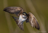 Building a home (Happy Photographer) Tags: bird barn amy nest flight swallow amyhudechek hudechek nikon200500mmf56