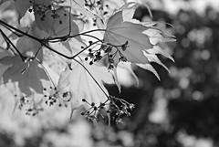 Ladew Gardens ~ Acer magic - HBW & HMBT! (karma (Karen)) Tags: bw monochrome gardens dof bokeh maryland maples monkton ladewtopiarygardens acers nrhp hbw cmwdbw bokehwednesdays harfordco hmbt