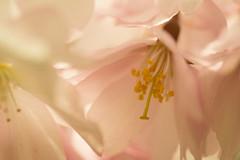 20160424-12_Romantic Soft Pinks (gary.hadden) Tags: park flowers macro tree spring memorial pretty stamens romantic coventry floweringcherry topgreen