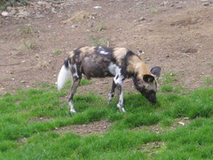 Missing Leg (miketransreal) Tags: dog zoo edinburgh 1st african painted hunting may lycaon 2016 pictus