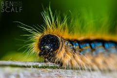 Malacosoma americanum - 105mm macro (ben.scalf) Tags: ohio macro nature bug insect nikon cincinnati wildlife science caterpillar micro dslr biology d3200