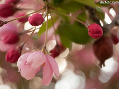 Crabapple blossoms (David R. Crowe) Tags: pink light sunset plant canada colour calgary nature evening atmosphere alberta floweringplant rosaceae translucence rosefamily angiosperms angiosperm