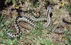 David and Goliath - adder combat, Vipera berus (1 of 2 images) (willjatkins) Tags: macro closeup snake viper snakes britishwildlife adder adders vipera viperaberus sigma105mm ukwildlife springwildlife britishsnakes britishreptiles closeupwildlife macrowildlife uksnake uksnakes danceoftheadders britishreptilesandamphibians ukreptiles nikond7100 adderdance snakebehaviour ukamphibiansandreptiles ukreptilesandamphibians britishamphibiansandreptiles addercombat snakesofeurope