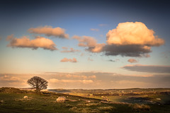 Evening light above Holmfirth (Andy T Whittaker) Tags: sunset tree clouds landscape skies sheep yorkshire westyorkshire holmfirth