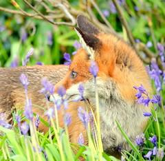 fox (mulligan.janice) Tags: wood bluebells wildlife fox