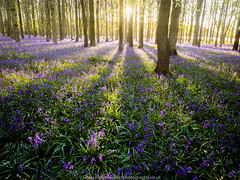 Morning Bluebells (Richard Walker Photography) Tags: trees bluebells sunrise landscape woods shadows bluebellwood landscapephotography dockeywood