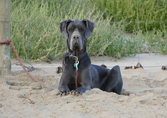 Waiting patiently... (The Pocket Rocket) Tags: beach australia victoria greatdane oceangrove