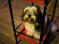 P1143319 (tatsuya.fukata) Tags: dog animal bar thailand buri samutprakan