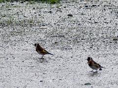 Chardonnerets (zogt2000 (No Video)) Tags: bird bretagne oiseau loctudy chardonneret