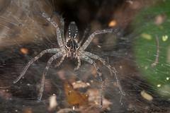 IMG_1289 Calakmul - Sosippus immature (fabianvol) Tags: macro mexico spider arachnid selva mexique araa fort araigne arachnida arachnide tropicale