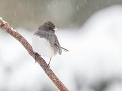 Dark Eyed Junco (Bella Remy Photography) Tags: snow birds magothymanor