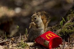 """Have You Had Your Break Today?"" ""I'm Lovin' It"" (Beverley Lu) Tags: park wild food nature animal lunch mammal outdoors fry holding squirrel break afternoon eating wildlife ground frenchfries mcdonalds fries moncton chewing munching frenchfry irishtownpark"