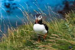 Puffin in Scotland (bono_dan) Tags: bird animal scotland puffin colourful schottland papageientaucher