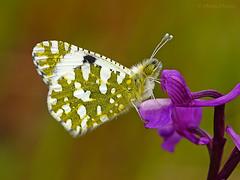 En la orqudea (Maite Mojica) Tags: flores primavera flor lepidoptera mariposa insecto orqudea orchis pieridae lepidptero inflorescencia euchloe crameri artrpodo champagneuxii pirido