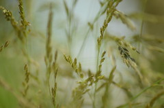 2015-06-10 Grasses & Bokeh (tsegat01) Tags: hbw sooc colorfulworldgreen hggt