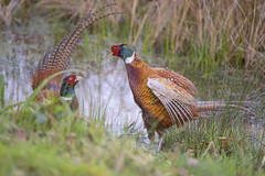 Fighting Pheasants (Osgoldcross Photography) Tags: winter bird nature water grass birds reeds wings nikon raw head pair tail beak feathers naturalhistory grasses fighting behaviour rspb posturing malepheasant teritorial nikond810 rspboldmoor
