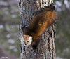 American-pine-marten (Corey Hayes) Tags: winter red tree cute nature face forest outdoors furry eyecontact awesome small weasel marten claws algonquinpark gripping natureontario coreyhayes