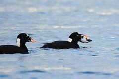 Watch your back (Adam Wang) Tags: sea bird nature duck wildlife shell surfscoter
