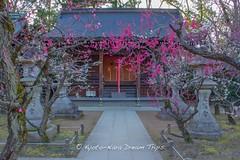 Plum Blossoms at Kitano Tenman-g () in Kyoto! (KyotoDreamTrips) Tags: japan kyoto ume matsuri  plumblossoms baikasai nominosukune  michizane kitanotenmang nominosukuneshrine