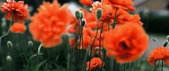 FBpoppybush000expo (JGF015) Tags: closeup flora fuji poppy editor rvp sonnar delire silverfast