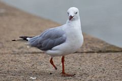 Gull (PJ Reading) Tags: ocean life sea wild bird nature fly airport wildlife seagull gull leg sydney legged birdlife oneleg