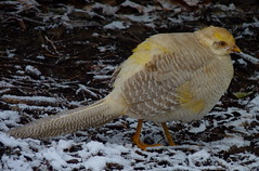 Pheasant (Dendroica cerulea) Tags: winter snow bird garden newjersey pheasant nj aves highlandpark goldenpheasant chrysolophuspictus phasianidae middlesexcounty chrysolophus galliformes phasianinae