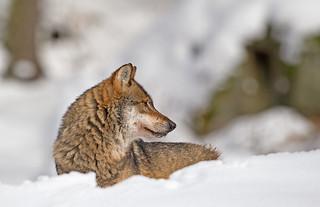 Eurasian Wolf: Canis lupus lupus