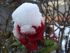 Snow Covered Rose, Jersey City, New Jersey (lensepix) Tags: winter snow rose newjersey jerseycity
