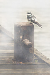 Swallow in the Mist (Cristian Malevic) Tags: christmas brazil portrait mist bird nature fog brasil river pier nikon br swallow matogrossodosul d810 bataguassu