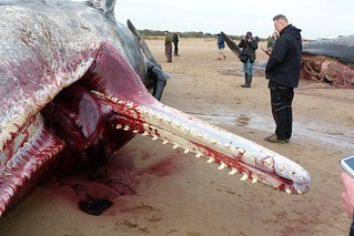 BEACHED WHALE SAD END