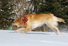 Closing In (Diane Marshman) Tags: trees winter dog pet brown white snow playing motion nature pine ball season fur outdoors golden movement action pennsylvania coat tan large retriever dude kong pa breed companion northeast thedude the