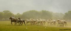 Tropillas 2 (pniselba) Tags: horse criollo caballo buenosaires gaucho tradicion provinciadebuenosaires sanantoniodeareco areco tropilla diadelatradicion