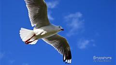 _DSC5431 (dawnbordin) Tags: sea hot bird beach birds head seagull gulls flight chips hungry lennox