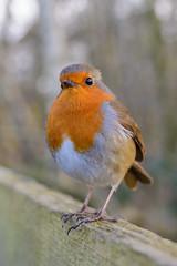 Old Fence Robin Portrait (medowduk) Tags: portrait robin fence