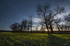 Ultimas luces en San Martn (Anpegom fotografa) Tags: blue light sunset tree verde green luz azul contraluz arbol atardecer twilight nikon arboles valladolid d750 crepusculo 1635 castillaylen cerrato anpegom sanmartndevalveni