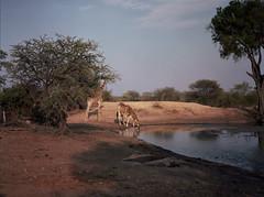 Giraffe (chillbay) Tags: africa reflection mamiya southafrica giraffes giraffe waterhole mamiya645 krugernationalpark kruger tandatula
