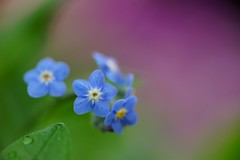 ()/Myosotis scorpioides (nobuflickr) Tags: flower nature japan kyoto  forgetmenot  myosotisscorpioides  thekyotobotanicalgarden waterforgetmenot   awesomeblossoms  20160211dsc01024