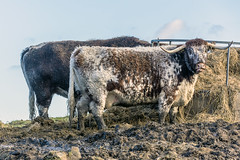 Longhorn Cattle (pollylew) Tags: rural cow cattle feeding textures longhorn hay moorland saddleworth