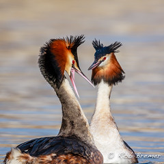 Futen / Red Crested Grebe -0426 (rob.bremer) Tags: bird nature water birds outdoor wildlife dunes natuur waterbird aves behavior duinen castricum kennemerduinen courtship fuut podicepscristatus duinlandschap watervogel balts noordhollandsduinreservaat baltsgedrag redcrestedgrebe